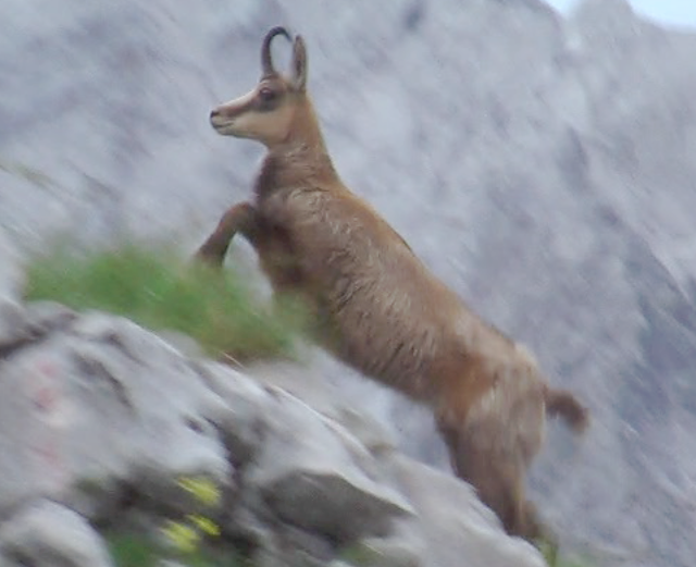 Chamois 1 Rick McCharles Flickr